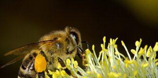 jad pszczoły